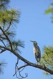 伟大蓝色的苍鹭的巢在一棵杉树栖息在佛罗里达 免版税库存照片