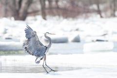 伟大蓝色的苍鹭的巢在冬天 库存照片