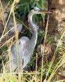 伟大蓝色的苍鹭的巢在森林 免版税图库摄影