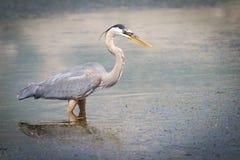 伟大蓝色的苍鹭的巢在池塘水中 免版税库存照片