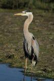 伟大蓝色的苍鹭的巢在沼泽地 库存照片