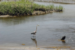 伟大蓝色的苍鹭的巢在沼泽地2 免版税库存照片