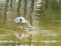 伟大蓝色的苍鹭的巢在湖抓了一条鱼 免版税库存照片