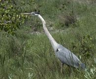 伟大蓝色的苍鹭的巢在象草的沼泽地 图库摄影