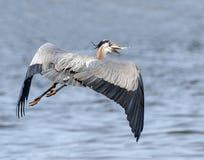 伟大蓝色的苍鹭的巢在飞行中与鱼 库存图片