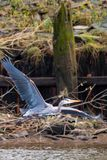 伟大蓝色的苍鹭的巢在Astoria,俄勒冈 库存图片