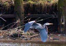 伟大蓝色的苍鹭的巢在Astoria,俄勒冈 免版税库存照片