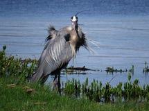 伟大蓝色的苍鹭的巢坏头发天 免版税库存图片