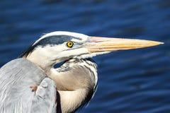 伟大蓝色的苍鹭的巢外形 免版税库存图片