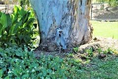 伟大蓝色的苍鹭的巢大涉水鸟 免版税库存图片