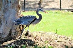 伟大蓝色的苍鹭的巢大涉水鸟 库存图片