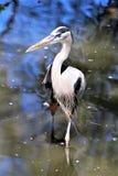 伟大蓝色的苍鹭的巢大涉水鸟 免版税库存照片