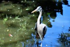 伟大蓝色的苍鹭的巢大涉水鸟 库存照片