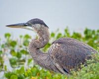 伟大蓝色的苍鹭的巢宏观顶头射击  图库摄影