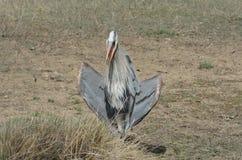 伟大蓝色的苍鹭的巢或Ardea herodias 库存照片
