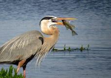 伟大蓝色的苍鹭的巢抓一条鱼 免版税库存照片