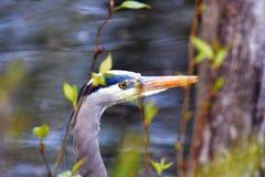 伟大蓝色的苍鹭的巢搜寻食物 库存图片