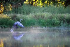 伟大蓝色的苍鹭的巢早晨 图库摄影