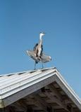 伟大蓝色的苍鹭的巢晒黑 图库摄影
