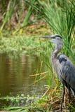 伟大蓝色的苍鹭的巢气喘 免版税库存照片