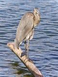 伟大蓝色的苍鹭的巢清洁的图象用羽毛装饰 免版税库存照片