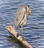 伟大蓝色的苍鹭的巢清洁的图象用羽毛装饰 库存图片