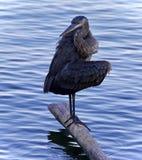 伟大蓝色的苍鹭的巢清洁的照片用羽毛装饰 库存照片