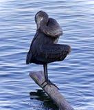 伟大蓝色的苍鹭的巢清洁的照片用羽毛装饰 图库摄影