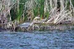 伟大蓝色的苍鹭的巢渔早餐 库存照片
