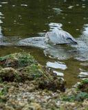 伟大蓝色的苍鹭的巢狩猎在Eelbed 免版税库存照片