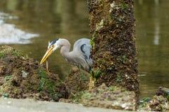 伟大蓝色的苍鹭的巢狩猎在Eelbed 库存照片