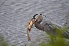 伟大蓝色的苍鹭的巢用在它的一个金黄鲤鱼是嘴 库存图片
