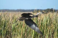 伟大蓝色的苍鹭的巢离开 免版税库存图片
