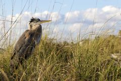 伟大蓝色的苍鹭的巢站立在沙丘草的Ardea herodias 免版税库存图片
