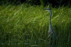 伟大蓝色的苍鹭的巢等待在芦苇的, Pitt湖,不列颠哥伦比亚省 库存照片