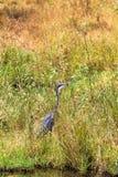 伟大蓝色的苍鹭的巢等待的牺牲者 Meru公园,肯尼亚 库存照片