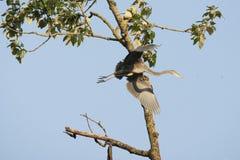 伟大蓝色的苍鹭的巢翼在飞行中打开 免版税库存照片