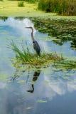 伟大蓝色的苍鹭的巢镜象 库存照片