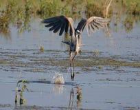 伟大蓝色的苍鹭的巢预先形成的芭蕾 库存图片