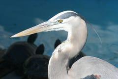 伟大蓝色的苍鹭的巢题头  免版税库存图片