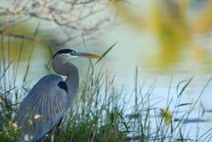 伟大蓝色的苍鹭的巢风景 免版税图库摄影