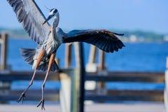 伟大蓝色的苍鹭的巢飞行和着陆 免版税图库摄影