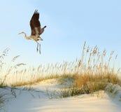 伟大蓝色的苍鹭的巢飞行在沙丘 免版税库存照片