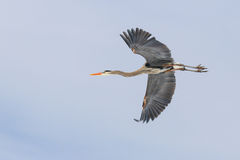 伟大蓝色的苍鹭的巢飞行飞行 免版税库存照片