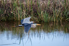 伟大蓝色的苍鹭的巢飞行,大草原全国野生生物保护区 免版税图库摄影