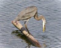 伟大蓝色的苍鹭的巢饮用水的照片 库存照片