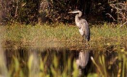 伟大蓝色的苍鹭的巢鸟, Ardea herodias,在狂放 库存照片