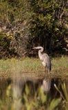 伟大蓝色的苍鹭的巢鸟, Ardea herodias,在狂放 库存图片