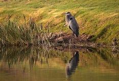 伟大蓝色的苍鹭的巢鸟, Ardea herodias 免版税库存照片