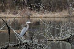 伟大蓝色的苍鹭的巢,桑迪小河自然中心,乔治亚 免版税库存照片